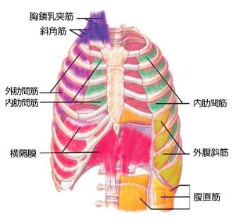 呼吸筋と呼吸補助筋