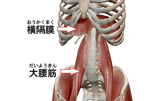 横隔膜・大腰筋連動部